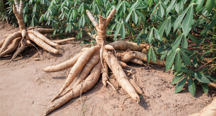 Cassava in large quantity