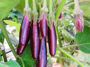 Eggplant is available