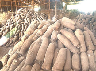 Large Engagement Yam Tubers